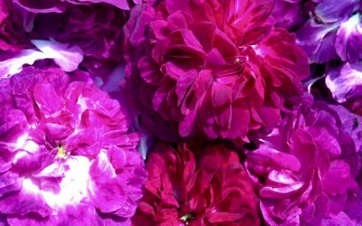 Distillation d'eau précieuse de rose